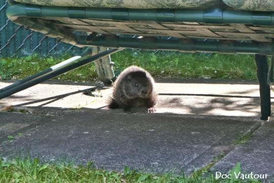 marmotte 1 mod