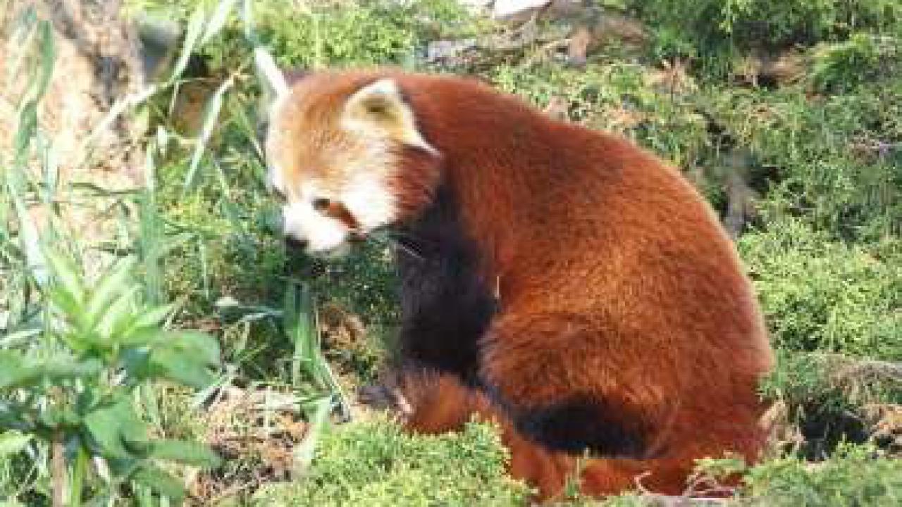 panda_roux_parc_tete_or_lyon